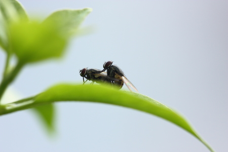 close up of fly mating Stock Photo