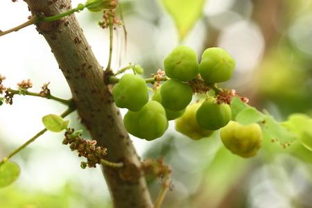 Phyllanthus acidus ou fruits de groseille étoile sur l'arbre
