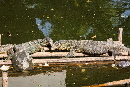 Water monitor in Bangkok,Thailand photo
