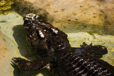 crocodile in Bangkok,Thailand photo