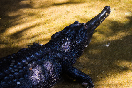 crocodile in Bangkok,Thailand Stock Photo - 26118998