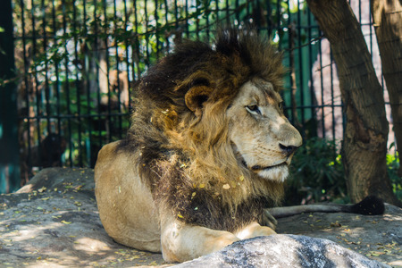 lion in Bangkok,Thailand Stock Photo