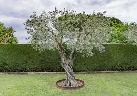 olive tree isolated on the garden