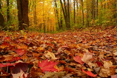 A blanket of autumn leaves has covered the ground.  Maple leaves are predominant in the foreground. Stock Photo