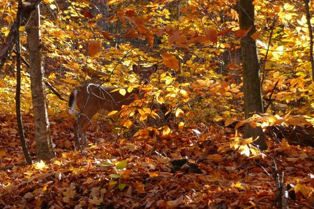 A deer stares intently as he tries to remain hidden in his fall coloured surroundings. Stock Photo - 2860692
