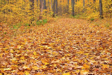잎이 두꺼운 담요, 주로 단풍 나무가 숲을 가로 지르는 흔적을 덮고 있습니다.