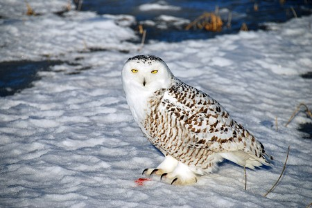 A Snowy Owl at rest after a successful hunt.  The colored snow by its feet is all thats left of the prey.  Also known as the Arctic Owl or the Great White Owl. photo