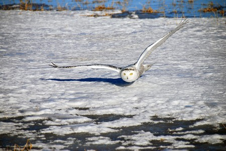 A Snowy Owl has its wings fully extended and glides silently just above the snow focused on its prey.  Also known as the Arctic Owl or the Great White Owl. photo