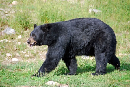 A black bear out for an afternoon stroll on a sunny summer day. 版權商用圖片