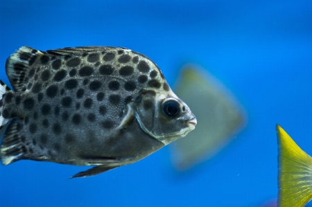 spoted: Scatophagus argus Stock Photo