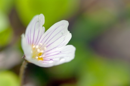 Common wood sorrel is a plant similar to clover. It has a beautiful, delicate little flowers. photo