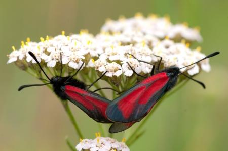 Two butterflies Zygaenidae and common yarrow Stock Photo - 14518512