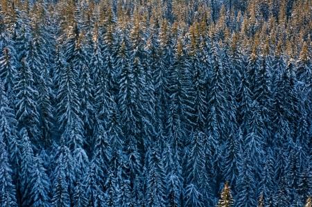 bird 's eye view: Conifer forest in winter in advance