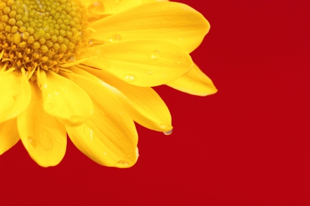 Yellow flower with drops on a red background  photo
