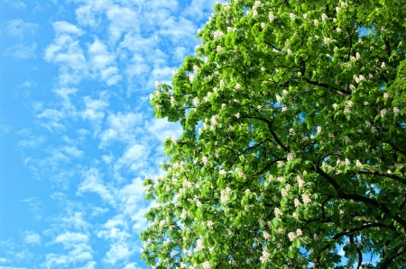 chestnut tree: Blooming chestnut tree against a blue sky.