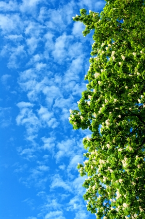 baccalaureate: Blooming chestnut tree against a blue sky.