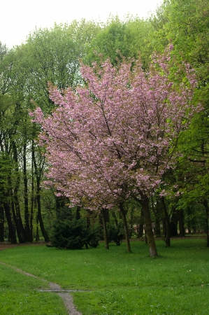 branching: Pink tree in the park.