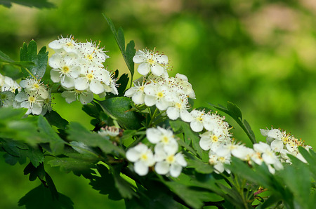 Blossoming cherry with white flowers.