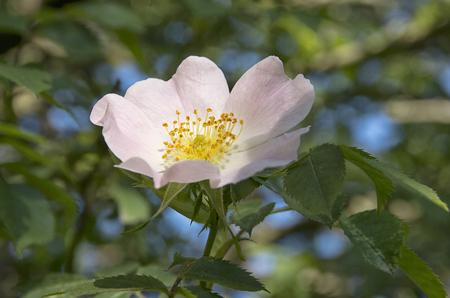 wild rose: Wild rose bush with blooming flower.