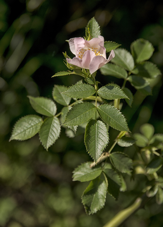 rose bush: Wild rose bush with blooming flower.