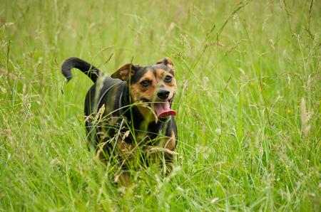 Joyful dog running through a meadow.