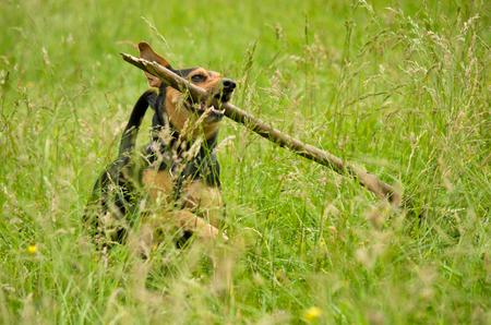 Joyful dog running through a meadow and retrieves a big stick.