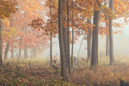 Morning fog in the forest. Gold autumn. Misty early morning. Standard-Bild - 115234774