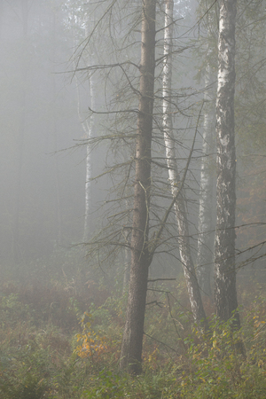 Morning fog in the forest. Gold autumn. Misty early morning. Standard-Bild - 115234776