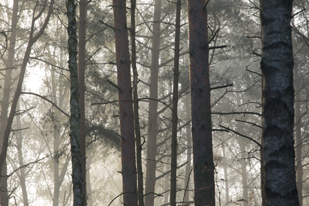 Trees in a mysterious forest and autumn fog. Standard-Bild - 115234775
