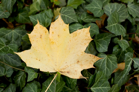 Yellow leaf and thick green ivy. Standard-Bild - 115234779