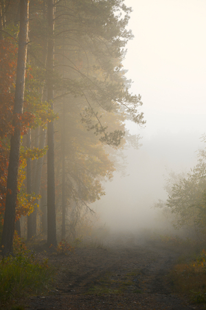 Morning fog in the forest. Gold autumn. Misty early morning. Standard-Bild - 115239146