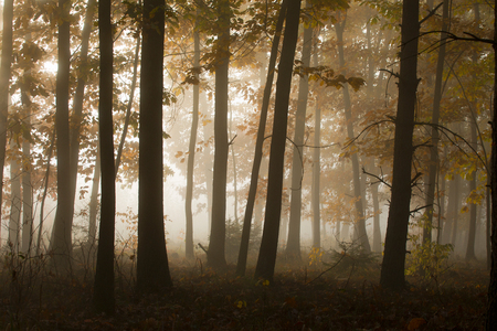 Morning in a mysterious autumn forest in the fog. Standard-Bild - 115235084