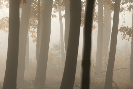 Morning in a mysterious autumn forest in the fog. Standard-Bild - 115235081