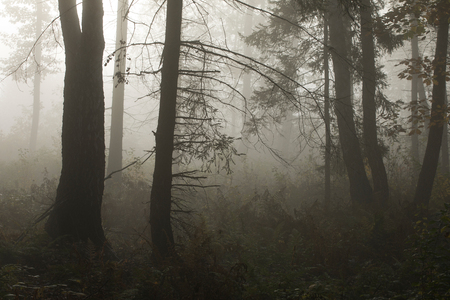 Morning in a mysterious autumn forest in the fog. Standard-Bild - 115235086