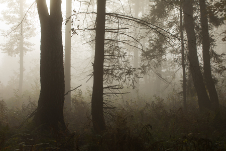 Morning in a mysterious autumn forest in the fog. Standard-Bild - 115235087