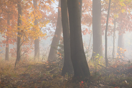 Morning fog in the forest. Gold autumn. Misty early morning. Standard-Bild - 115235088
