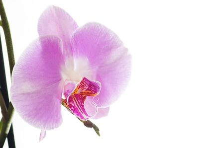Pink orchid on a white background. 免版税图像