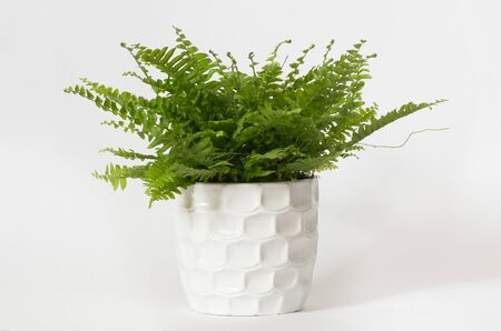 Fern nephrolepis in a white donated white background.