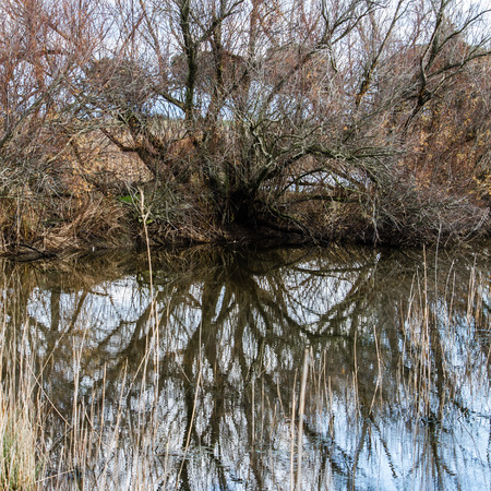 secular: The reflection of a secular tree in a little lake
