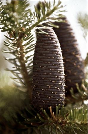 pflanzen: Tannenzapfen
