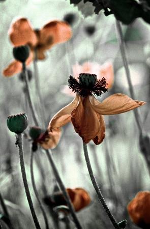 blumen: Mohnblumen zweifarbig