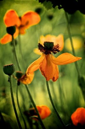 blumen: Mohnblumen bunt Stock Photo