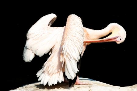 pelikan: Pelikan beim Federn Putzen   Pelikan cleaning his feathers Stock Photo