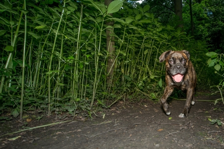 Brindle boxer dog walking at night along a pathway through green plants approaching the camera with its tongue lolling out Stock Photo - 16429915