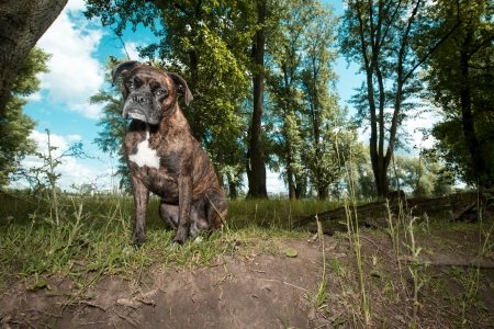 Low angle view of an alert adult brindled boxer dog sitting in countryside waiting patiently for the photographer Stock Photo - 16429942