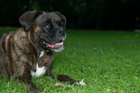 Portrait of a laying Boxer dog outside ilaying on a grassfield Stock Photo - 16429929