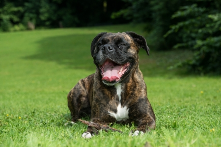 Happy adult brindle boxer dog resting on grass facing the camera panting and showing its tongue photo