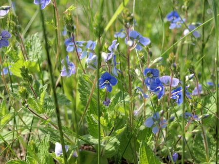 Germander Speedwell  Bird�s-eye Speedwell  Veronica chamaedris photo