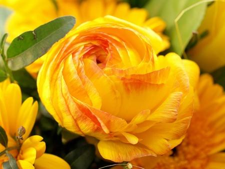 buttercup persian: Persian Buttercup  Ranunkel
