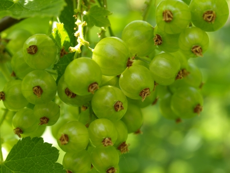 kerneudikotyledonen: unripe red currant